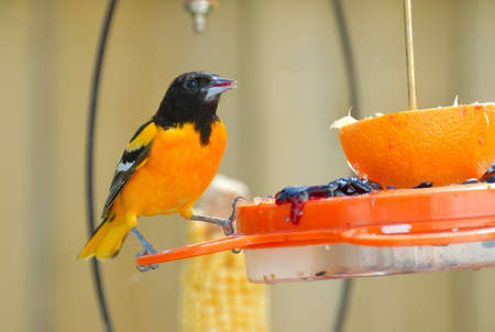 feeder: Adult Male Baltimore Oriole perched on a feeder. Stock Photo