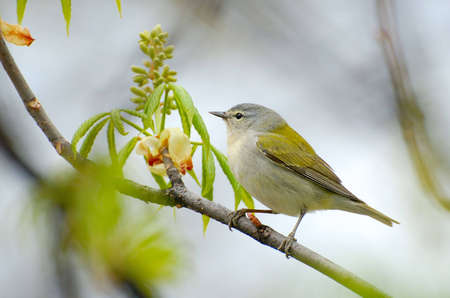 Cute little Tennessee Warbler perched on a branch in Spring. Stock Photo