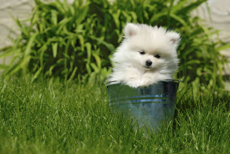 Adorable white 9 week old Pomeranian puppy sitting in a metal bucket in the yard.