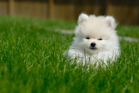 Adorable white 9 week old Pomeranian puppy lying in the grass. Stock Photo