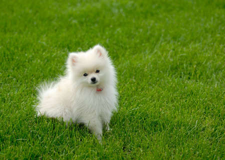 Adorable white Pomeranian puppy sitting in the grass.