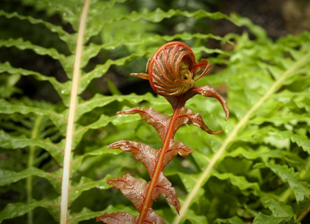 Red, curled fern shoot with green fern leaves Stock Photo - 27591155