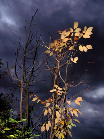 Orange and yellow autumn leaves on a shrub in front of a menacing black forest and roiling clouds Stock Photo