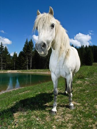 A curious white pony approaches with raised head and flared nostrils, in an alpine pasture, beside a lake.