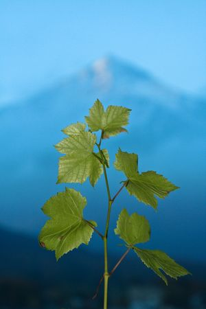 A branch of green grape leaves points skyward in front of a mountain. Stock Photo