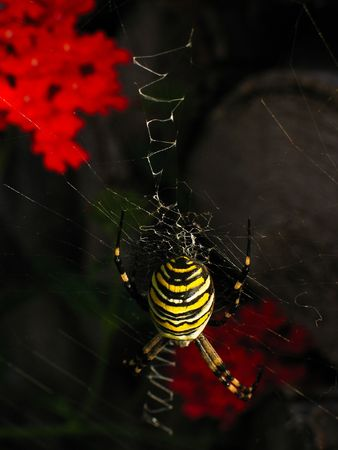 A wasp spider waits in its web, above a bright red geranium.