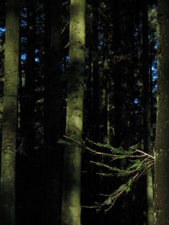Sunlit fir branches in the foreground, and dark fir trunks and forest in the background. Vertical portrait Stock Photo