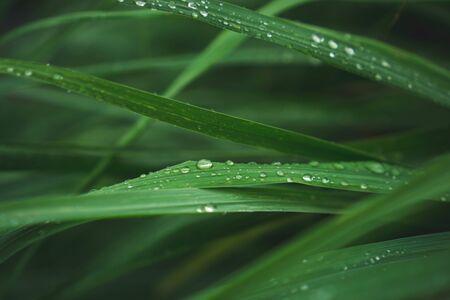 lemongrass in sufficient economy garden