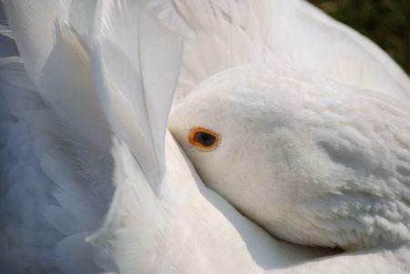 close of resting swan