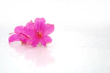 azaleas: pink azaleas