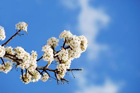 dogwood branch in bloom Stock Photo