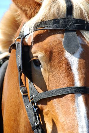 rein: draft horse face Stock Photo