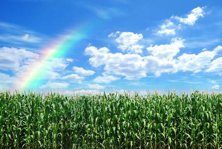 crop  stalks: corn field and blue sky with rainbow Stock Photo