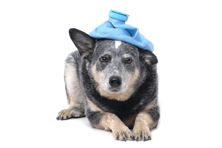 pet therapy: dog with ice pack on head Stock Photo