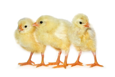 three baby chickens on white background