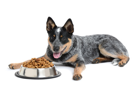 heeler: blue heeler puppy with bowl of food isolated white background