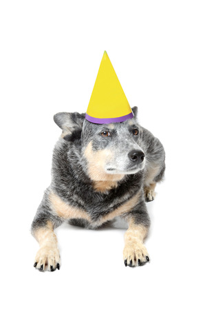 grouchy: blue heeler dog with birthday hat isolated white background Stock Photo
