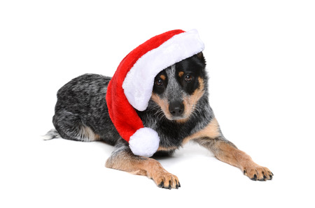 heeler: puppy wearing a santa hat isolated white background