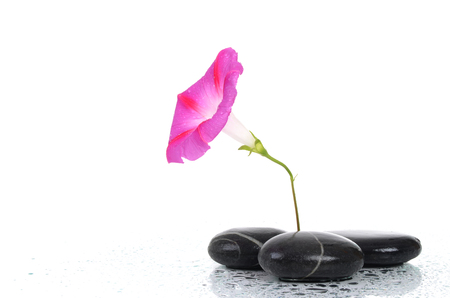 pink flower with stones and water drops isolated on white background