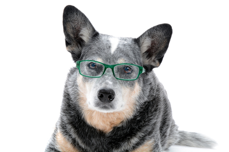 cattle dog with glasses white background