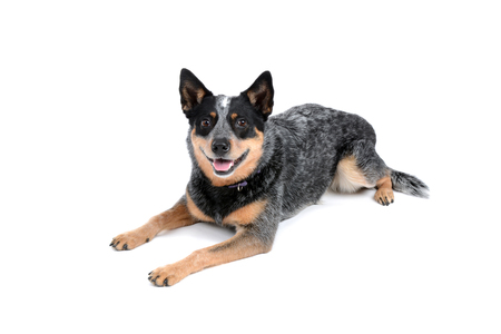cattle dog panting laying on white background Stok Fotoğraf