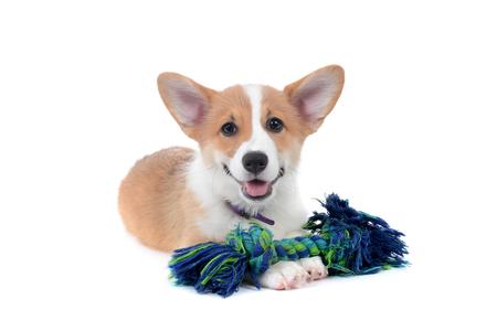 pembroke welsh corgi puppy lying with play toy rope white background Zdjęcie Seryjne
