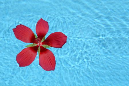 red tropical flower floating in swimming pool water Zdjęcie Seryjne