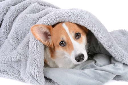 pembroke welsh corgi dog wrapped in a grey blanket Zdjęcie Seryjne