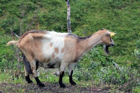 billy: goat