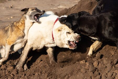 Fight dogs. A dog bites another dog. Aggressive dog. Fghting alabay and stray dogs. Closeup. Stock Photo