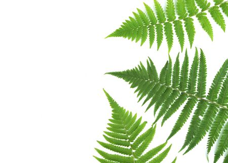 Green fern branches pattern isolated on white background. Flat lay, top view
