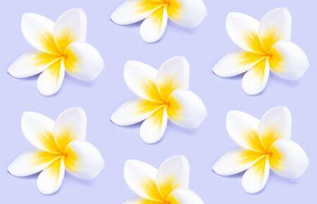 Creative pattern from beautiful white flowers frangipani plumeria alba on violet background. Stock Photo