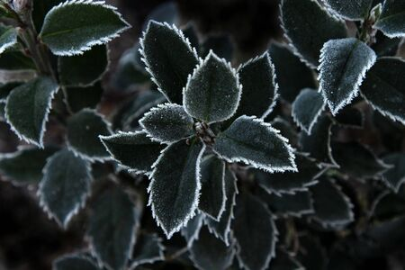 Plante verte recouverte de givre fragile en froide journée d'hiver. Fond naturel d'hiver abstrait.