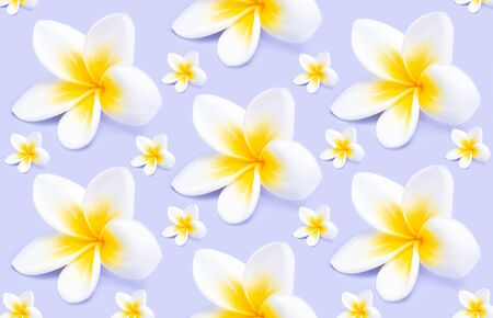 Creative pattern from beautiful white flowers frangipani plumeria alba on violet background. Flower compositioin, flat lay.