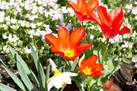 Blooming red tulips on flowerbed in garden. Springtime composition.