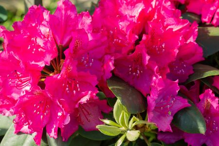 Beautiful pink rhododendron flowers. Close up.