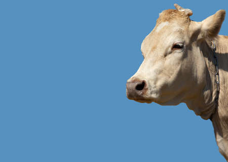 Cream colored cow isolated on blue background with copy space. The symbol of the new year of the Chinese calendar. 2021