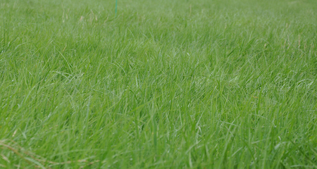 Texture of green, fresh and juicy grass. Stock Photo