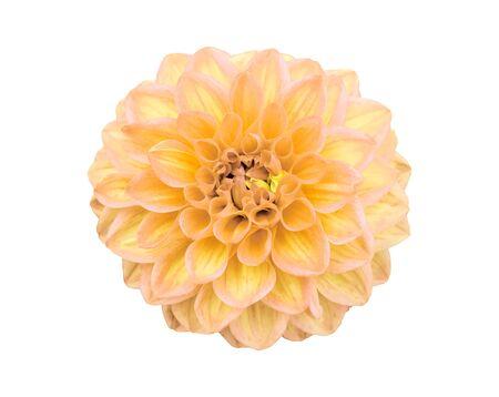 Fiore giallo della dalia isolato su priorità bassa bianca.