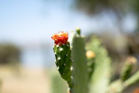 Blooming cactus - Sabres - Israel, Eilat