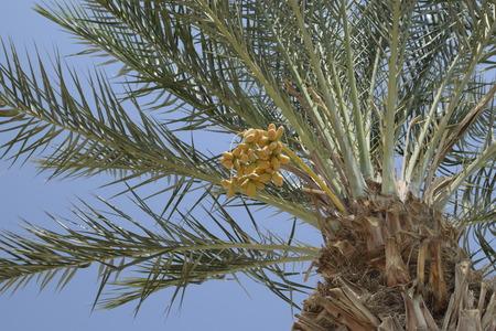 israeli: Israeli dates on palm on sky background