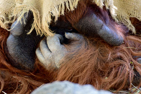 Portrait of OrangutanPortrait of Orangutan