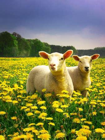 Los corderos posando con orgullo