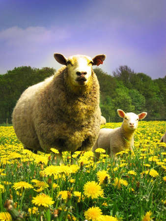 Mother and lamb photo