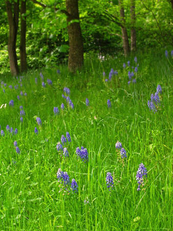 purple hyacinths in a meadow of a park photo