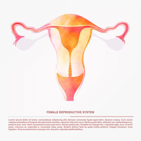 femme sexe: Illustration de l'organe reproducteur sexuel des femmes, l'ut�rus.