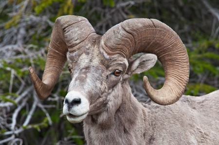 bighorn sheep: Una ram di pecore bighorn in Logan Pass, Glacier National Park, Montana.
