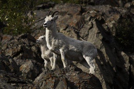 A Dall sheep ewe and lamb come down the hilllside of Turnagain Arm at dusk for a mineral lick.