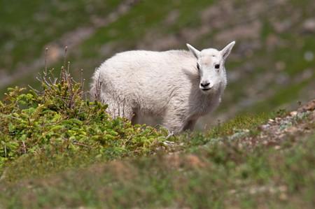 A young mountain goat kid at Logan Pass, Glacier National Park, Montana. photo