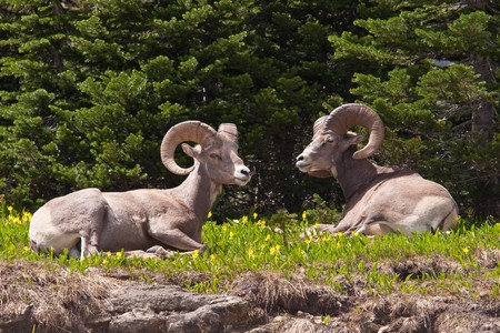 Two bighorn sheep rams are bedded down amongst the glacier lillies in Logan Pass, Glacier National Park, Montana.